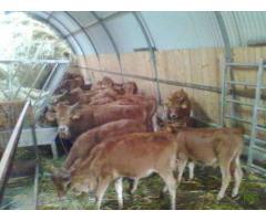 Vendo vitelos raça cachena e barrosã