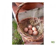 Ovos produção caseira