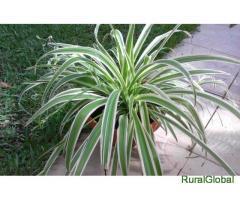 Planta natural Clorofito-Clorophitum comosum