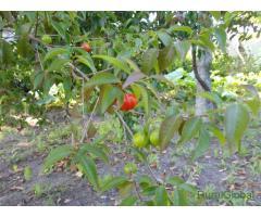 Pitangueiras - Arbustos - Plantas tropicais - Plantas brasileiras - Frutos tropicais