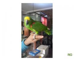 Casal Reprodutor de Papagaios Amazona Ochrocephala