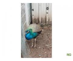 Pavão Azul ou Real desparasitado e vacinado macho