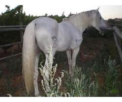 Vendo / troco 2 cavalos puro sangue lusitano Inteiros , com papéis