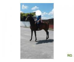 Troco ou vendo Cavalo inteiro