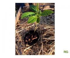 Nespereira (Eriobotrya japonica) BIO