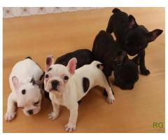 Ninhada de Bulldogs Francês