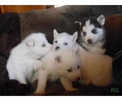 bem treinados filhotes husky siberiano disponíveis