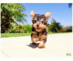 Cachorrinhos Yorkshire Terrier Puros