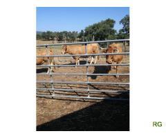 Venda de bovinos (vacada)