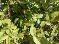 Folhas de goiaba biológicas para chá ou tónico para queda de cabelo