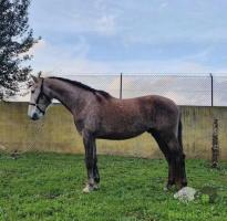 Cavalo PSL, com 8anos, muito manso bem montado