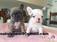 Gratis  o cachorro Bulldog Francês mais selvagem para adoção