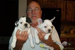 Gratis  lindo filhotes de Bulldog Francês se disponível