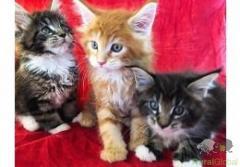 Gatinhos Maine Coon para adoção.