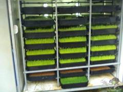 Sistema de produção de FVH ( forragem hidroponica para gado )