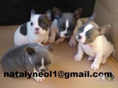 Gratis  os filhotes de Bulldog Francês mais inteligentes para adoção
