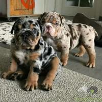 Gratis  muito adorável cão Bulldog Francês selvagem para adoção