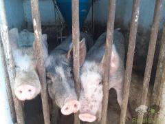Porcos Bísaros