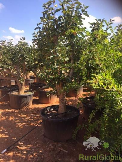 Árvores de Fruta