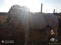 Vendo cavalo montado e engatado