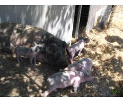 Vendo leitão porco bísaro